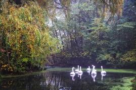 Les cygnes à Chabaud Latour